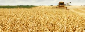 Ein Weizenfeld zur Erntezeit - Ein Weizenkorn bringt reiche Ernte