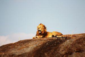Missionswerk Karlsruhe Ermutigung der Woche der wahre Löwe ein auf einem Berg sitzender Löwe