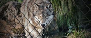 Wolf im Gehege Missionswerk Karlsruhe