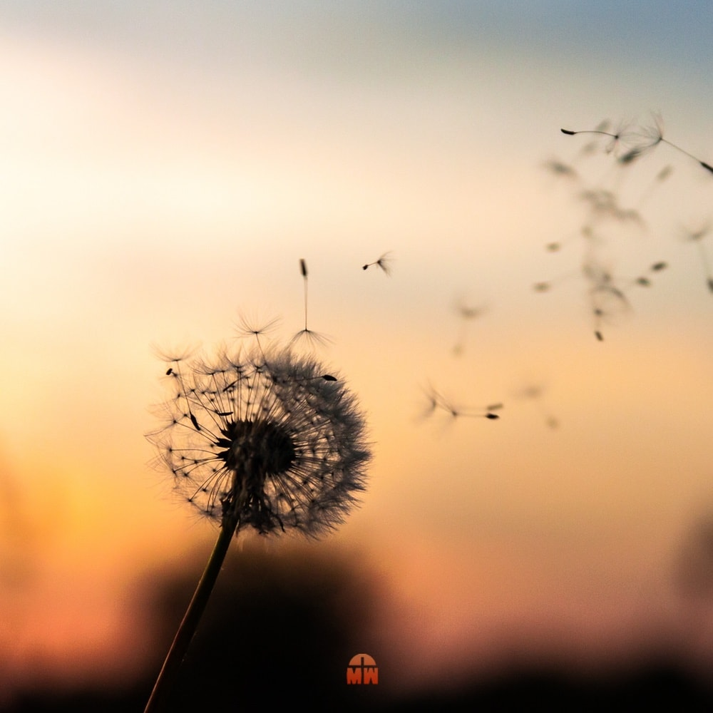 Pusteblume bei Sonnenuntergang Ein Geschenk für dich Ermutigung der Woche Missionswerk Karlsruhe