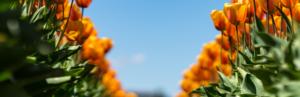 Orangene Blumen auf dem Feld Vollbracht Ermutigung der Woche Missionswerk Karlsruhe